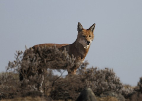AbyssinanWolf