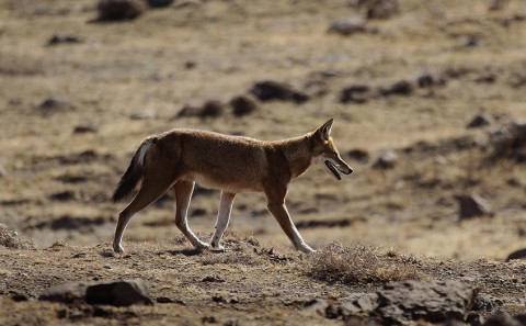 AbyssinianWolf