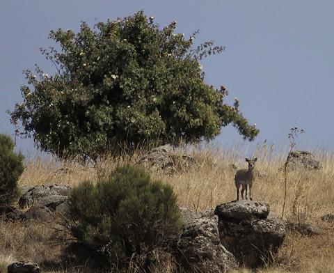Antelopes-ethiopia