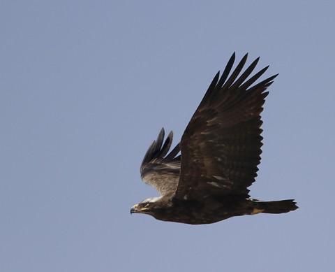 Verrauxs` Eagle