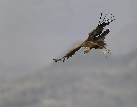 Eurasian Griffon Vulture