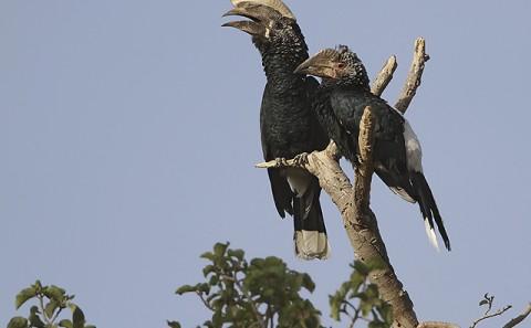 Ethiopia-Galliformes-Hornbills