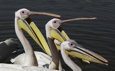 Herons-Storks-Pelicans-Ibis