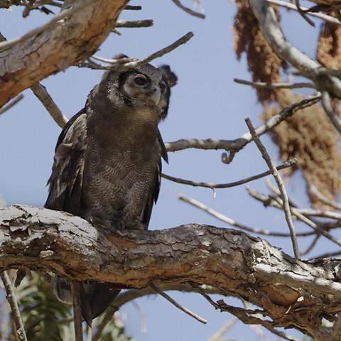 Verraux`s Eagle-Owl