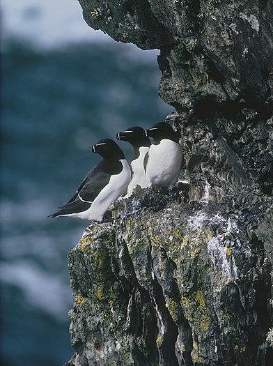 Razorbills Seabirds