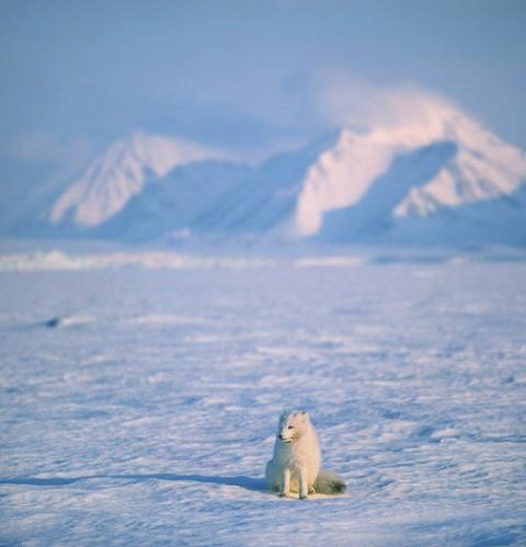 arcticfox2.jpg
