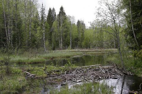 Beaver24.jpg