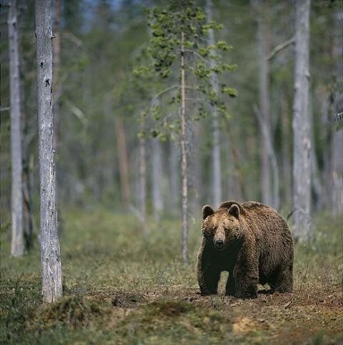 brownbear_carelia4.jpg