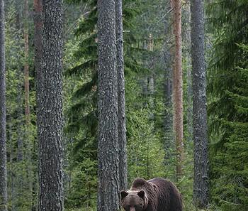 brownbear_karelia21.jpg