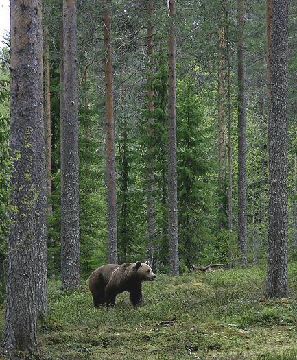 brownbear_karelia23.jpg