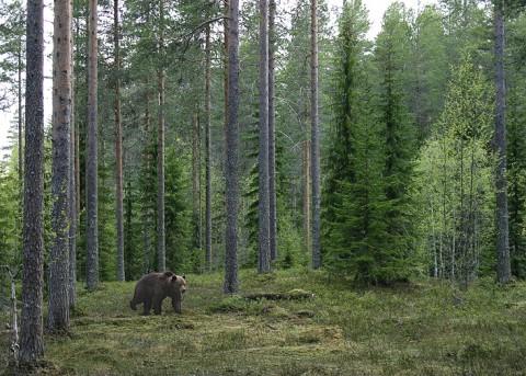 brownbear_karelia24.jpg