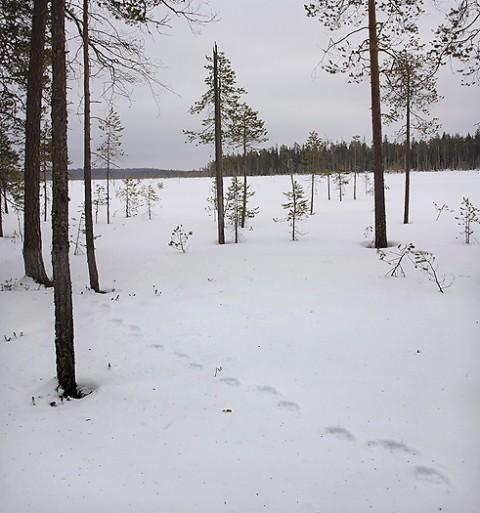 brownbear_karelia25.jpg