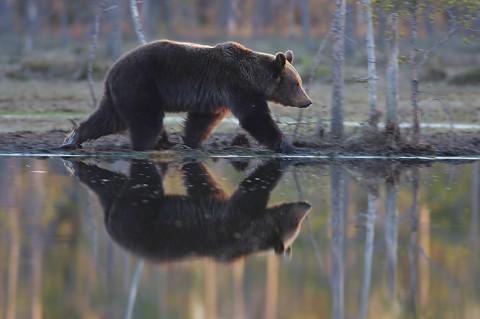 brownbear_karelia29.jpg