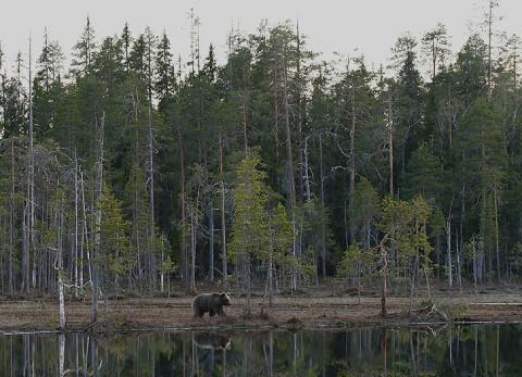 brownbear_karelia30.jpg