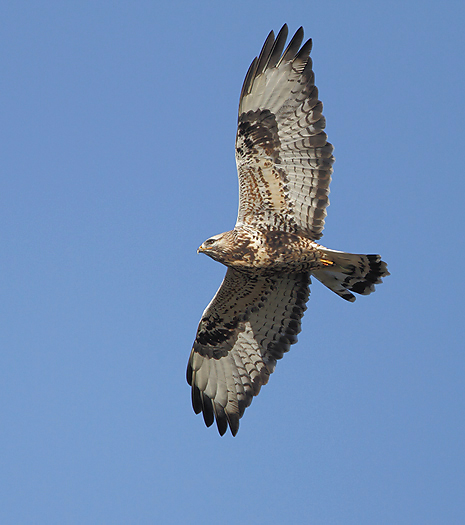 roughleggedbuzzard13.jpg