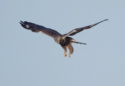 roughleggedbuzzard16.jpg