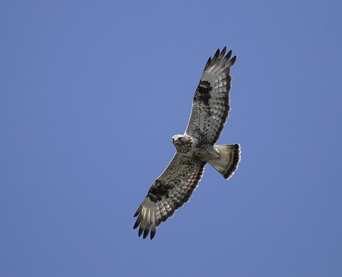 roughleggedbuzzard17.jpg