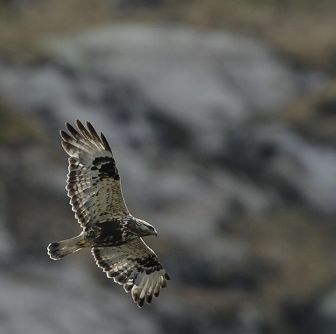roughleggedbuzzard18.jpg