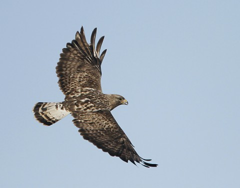 roughleggedbuzzard22.jpg