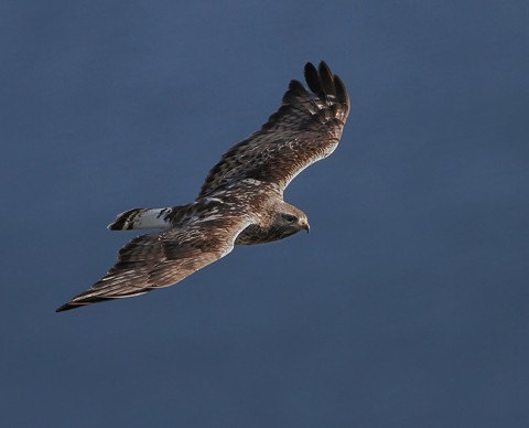roughleggedbuzzard25.jpg