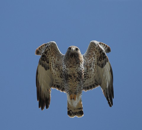 roughleggedbuzzard27.jpg