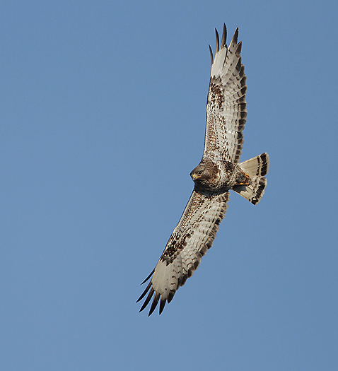 roughleggedbuzzard28.jpg