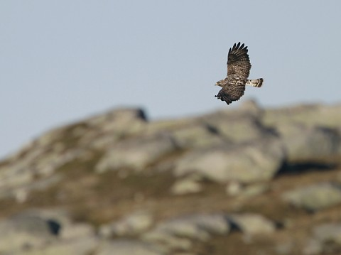 roughleggedbuzzard31.jpg
