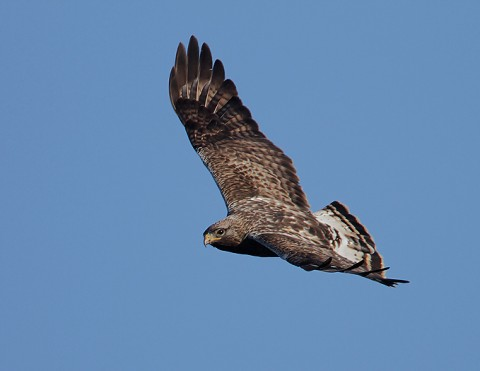 roughleggedbuzzard34.jpg