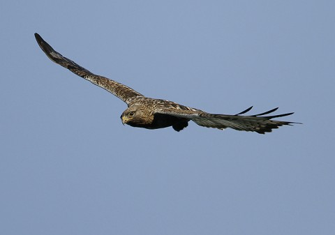 roughleggedbuzzard35.jpg