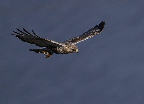 roughleggedbuzzard38.jpg