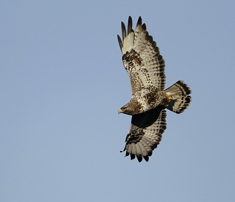 roughleggedbuzzard41.jpg