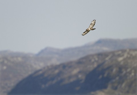 roughleggedbuzzard42.jpg
