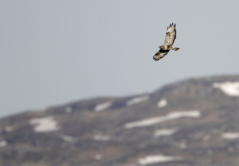 roughleggedbuzzard43.jpg