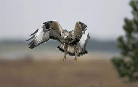 roughleggedbuzzard