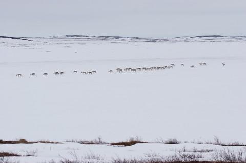 Caribou29.jpg