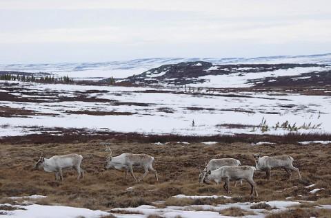 Caribou31.jpg