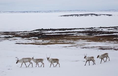 Caribou32.jpg