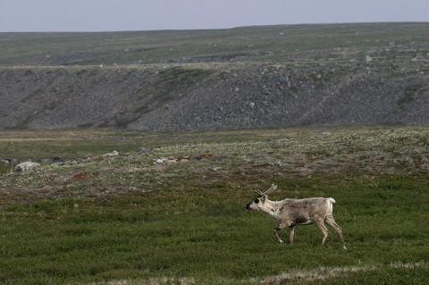 Caribou39.jpg