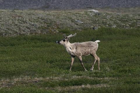 Caribou40.jpg