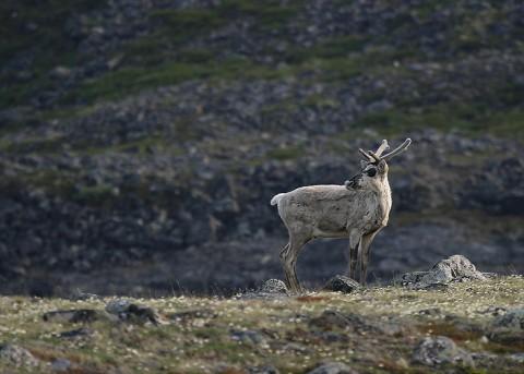 Caribou41.jpg