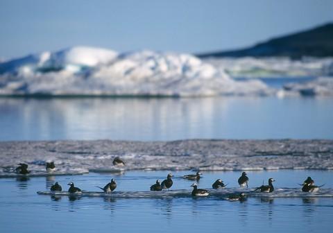 ducks24.jpg