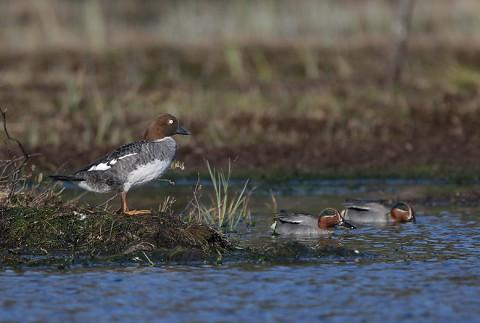 ducks36.jpg