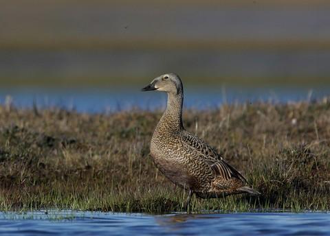 ducks43.jpg