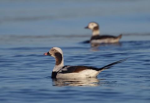 ducks52.jpg