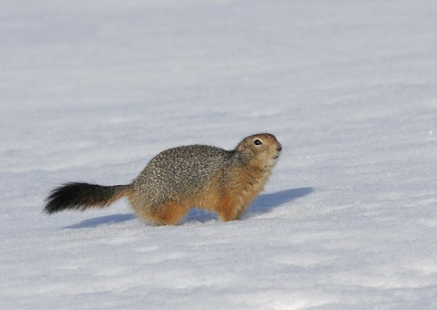 groundsquirrel24.jpg