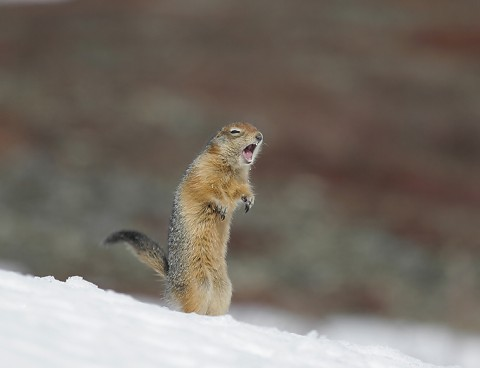 groundsquirrel25.jpg