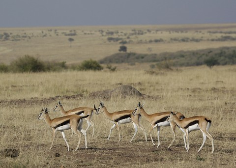 kenya-antelopes-031.jpg