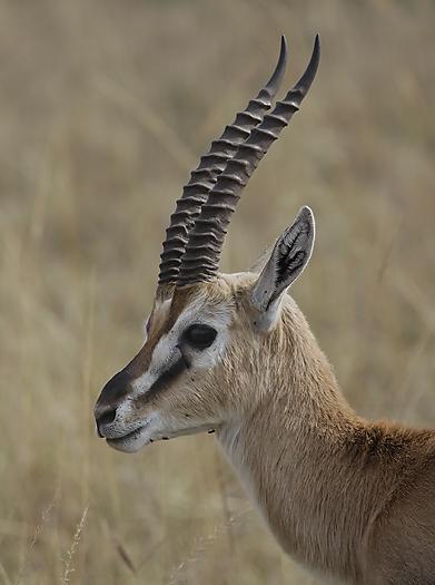 kenya-antelopes-031b.jpg