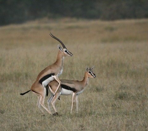 kenya-antelopes-032.jpg
