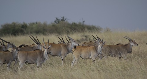 kenya-antelopes-035.jpg